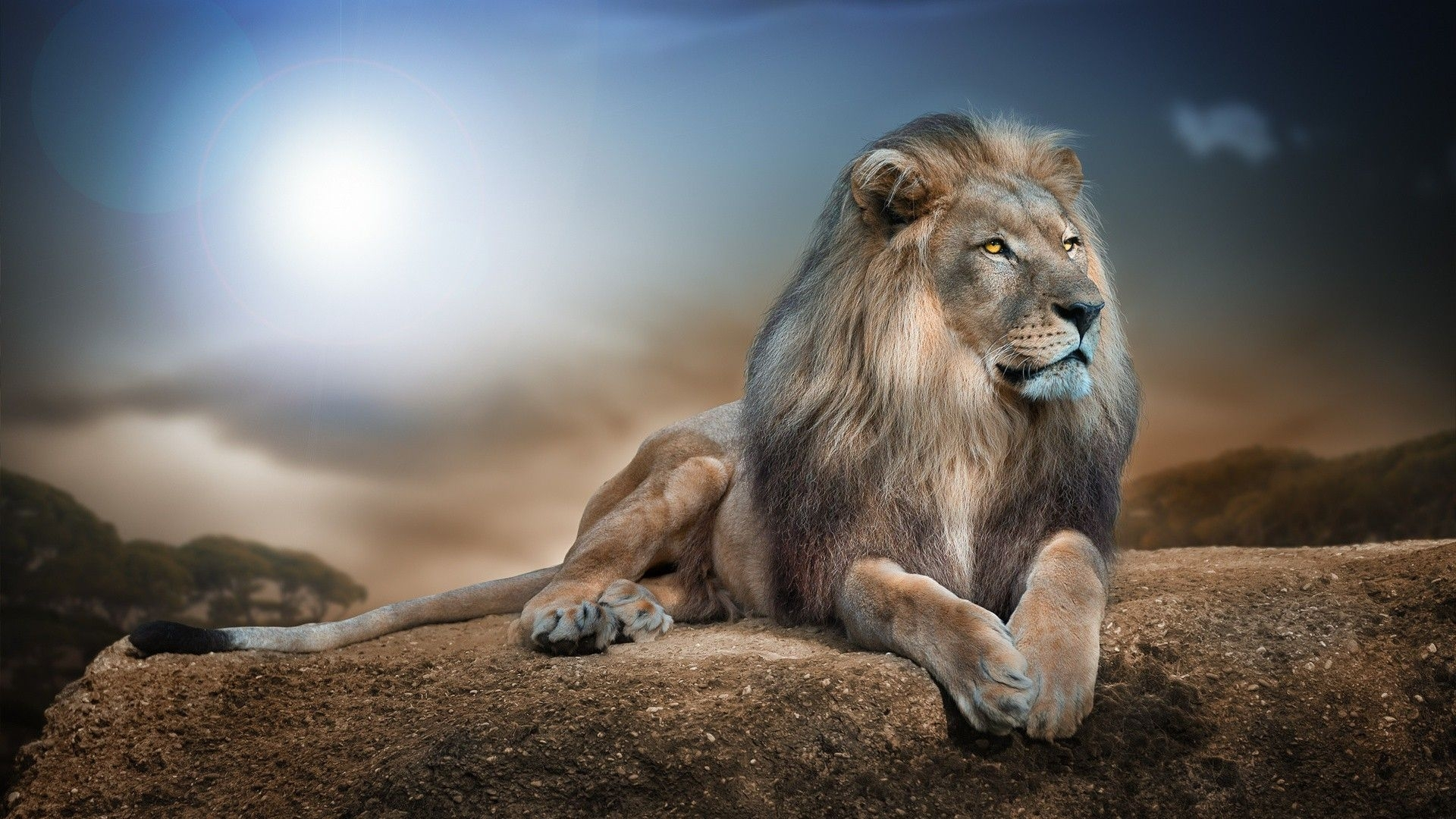 wild animal lion hd wallpaper | view hd | download wallpaper