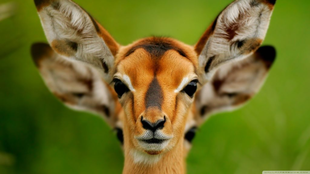 10 Top Wild Animal Wall Paper FULL HD 1080p For PC Desktop 2018 free download wild animals e29da4 4k hd desktop wallpaper for 4k ultra hd tv 1024x576