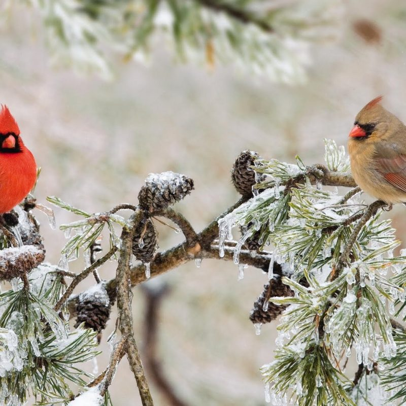10 Best Cardinal Bird In Snow FULL HD 1080p For PC Background 2018 free download wild birds unlimited northern cardinals flock in the fall 800x800