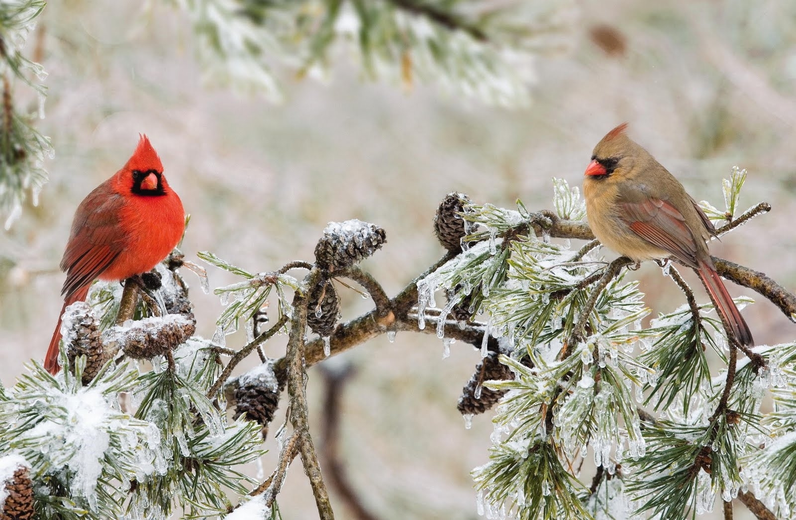 wild birds unlimited: northern cardinals flock in the fall