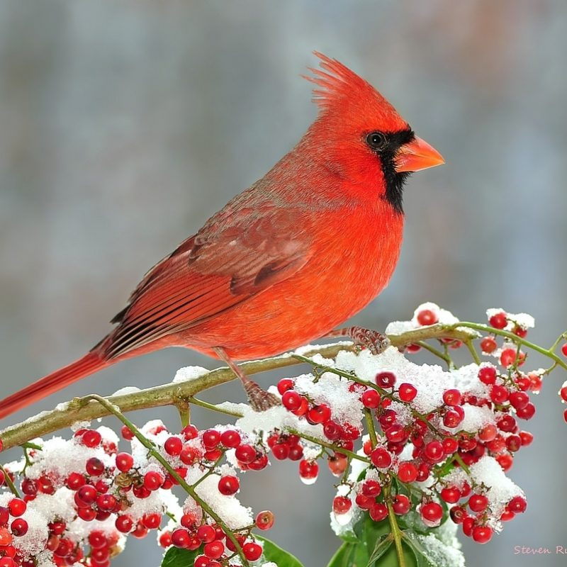 10 Best Cardinal Bird In Snow FULL HD 1080p For PC Background 2018 free download winter northern cardinal at snowy berries copyright strict flickr 800x800