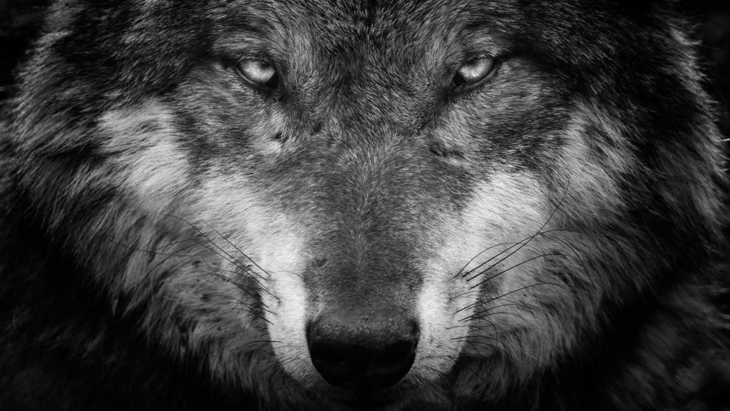 10 Most Popular Black And White Wolf Wallpaper FULL HD 1080p For PC Desktop 2018 free download wolf black and white portrait wallpaper wallpaper studio 10 1024x576