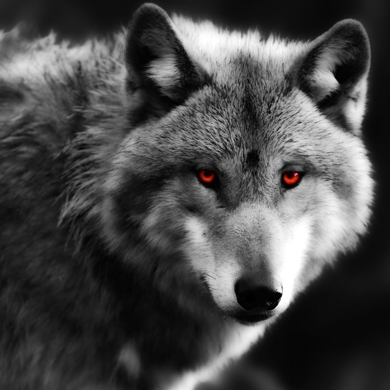 10 New Black Wolf With Red Eyes Wallpaper FULL HD 1080p For PC Desktop 2018 free download wolf close up red eyes predator wallpaper animals wallpaper better 800x800