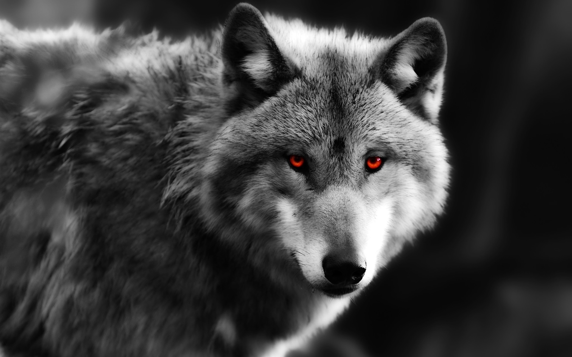 wolf close-up, red eyes, predator wallpaper | animals | wallpaper better