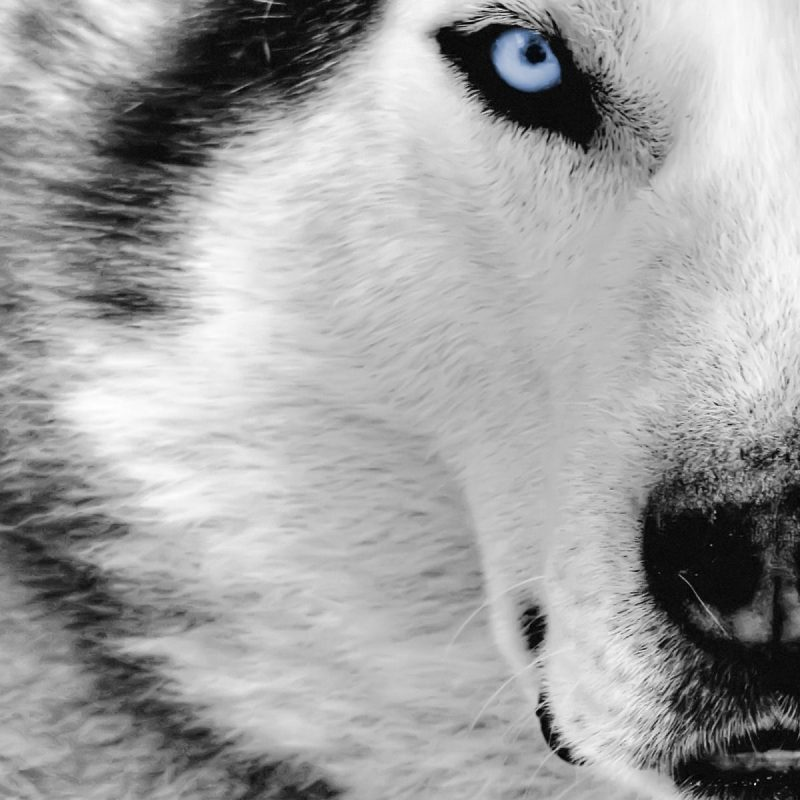 10 Best Cool Wolf Wallpaper Hd FULL HD 1920×1080 For PC Background 2018 free download wolf fonds decran hd gallery 79 plus pic wpw5011763 juegosrev 800x800