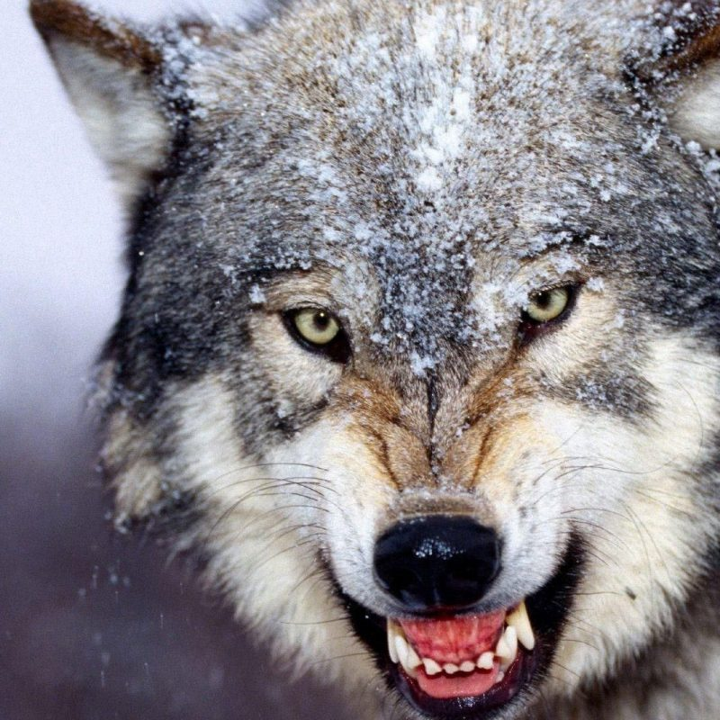 10 Top Free Wolf Wallpaper For Android FULL HD 1920×1080 For PC Background 2020 free download wolf free hd wallpapers and backgrounds download 43 http www 800x800
