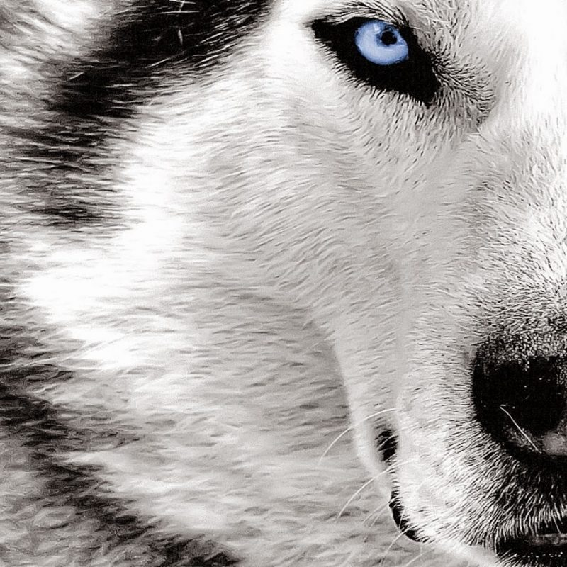 10 Top Free Wolf Wallpaper For Android FULL HD 1920×1080 For PC Background 2020 free download wolf hd wallpaper cool hd wallpapers 800x800