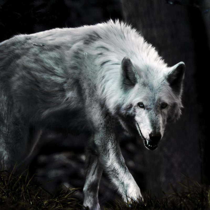 10 Top Free Wolf Wallpaper For Android FULL HD 1920×1080 For PC Background 2020 free download wolf hd wallpapers free android apps on google play hd wallpapers 800x800