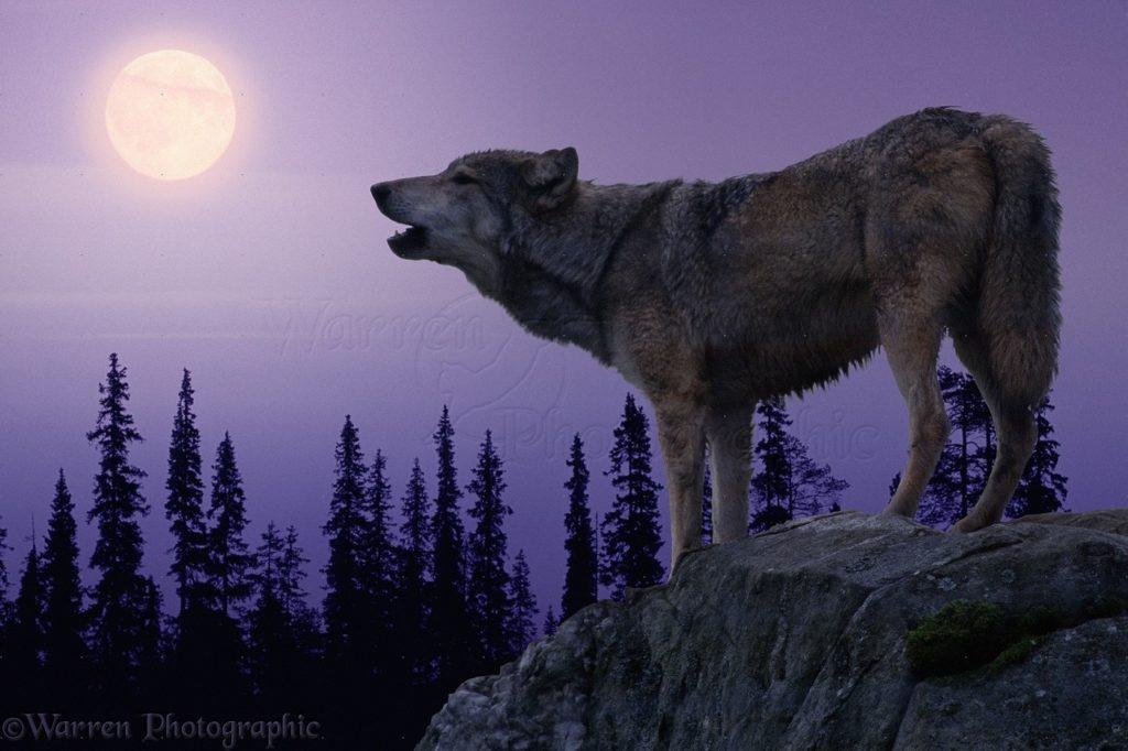 10 Latest Pics Of Wolf Howling At The Moon FULL HD 1920×1080 For PC Desktop 2018 free download wolf howling at the moon photo wp05386 1024x682