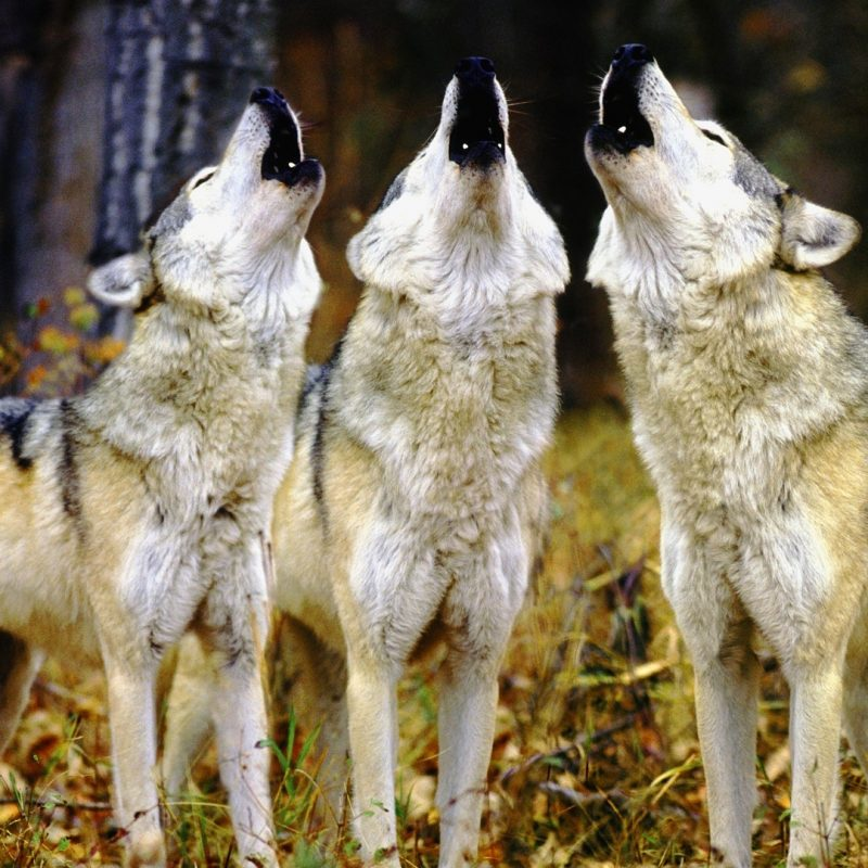 10 Top Wolf Pack Wallpaper 1920X1080 FULL HD 1080p For PC Background 2018 free download wolf pack hd live wallpaper nice wolfpack wallpaper desktop and 1 800x800