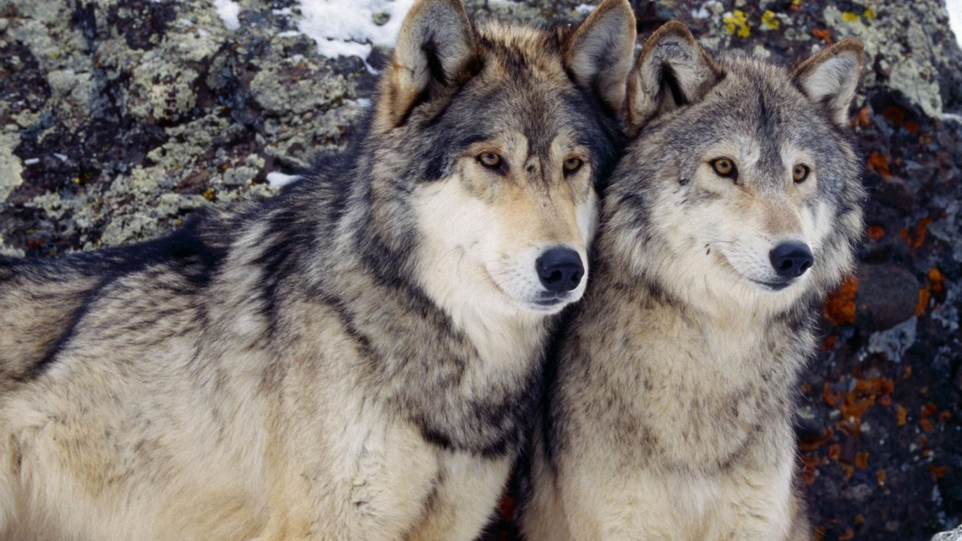 wolf-pack-wallpapers-gallery-(84-plus)-pic-wpw5011437 - juegosrev
