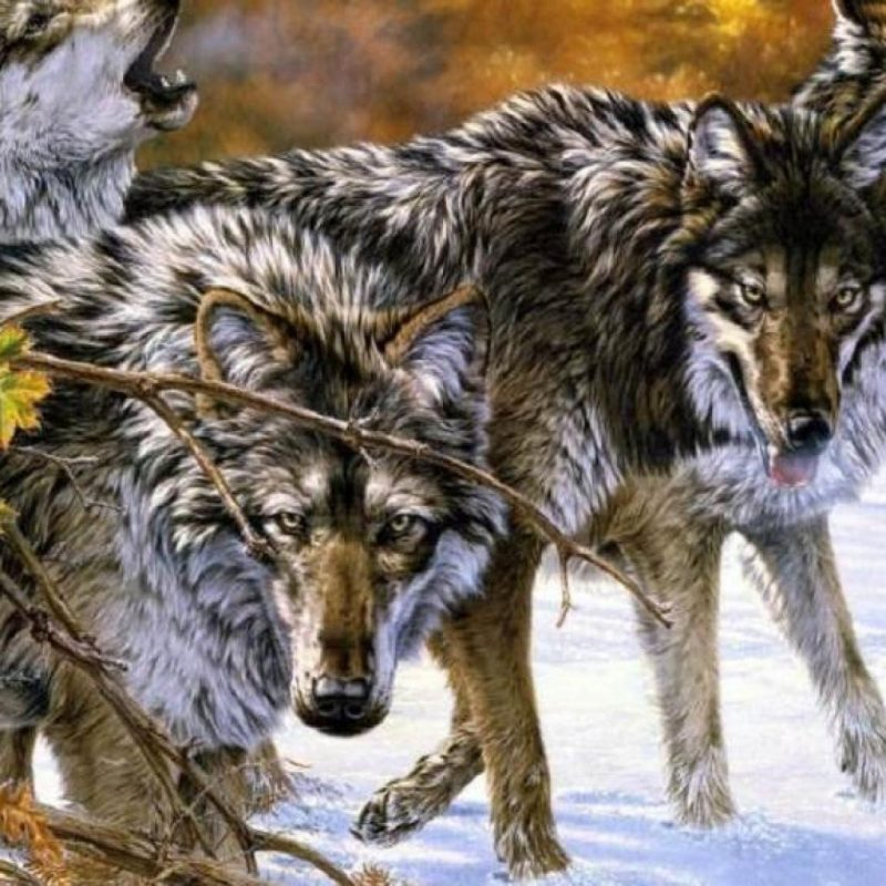 10 Top Wolf Pack Wallpaper 1920X1080 FULL HD 1080p For PC Background 2018 free download wolf pack wallpapers gallery 84 plus pic wpw5011475 juegosrev 800x800
