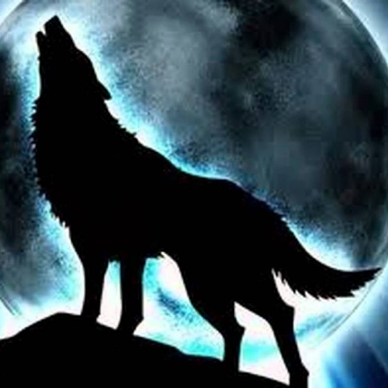 10 Most Popular Cool Pictures Of Wolfs FULL HD 1080p For PC Desktop 2018 free download wolf pictures cool images of wolves 800x800