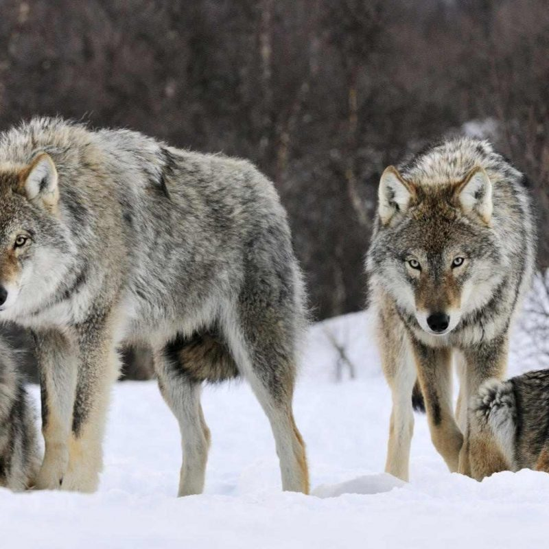 10 Top Wolf Pack Wallpaper 1920X1080 FULL HD 1080p For PC Background 2018 free download wolfpack wallpapers wallpaper cave 1 800x800