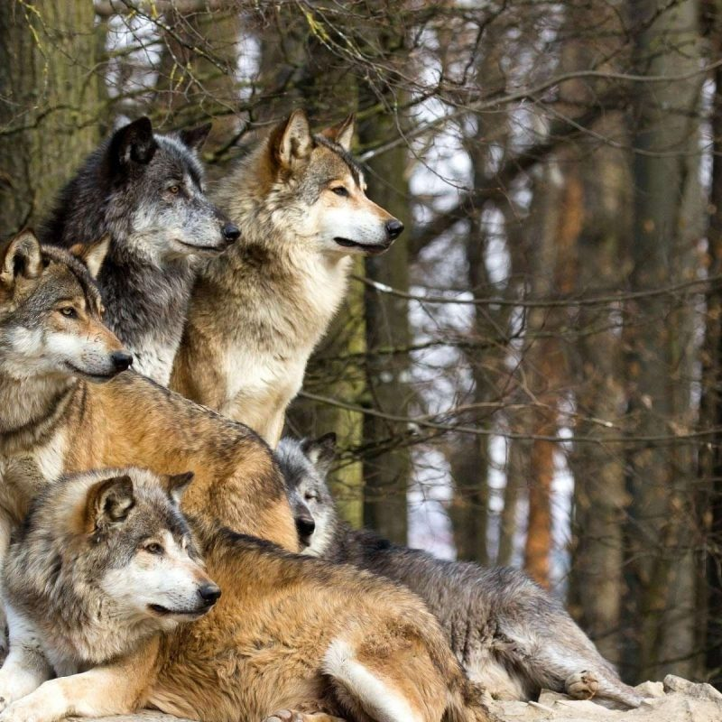 10 Best Wolf Pack Wallpaper Hd FULL HD 1080p For PC Background 2018 free download wolves pack hd wallpaper download hd wallpapers for desktop 800x800