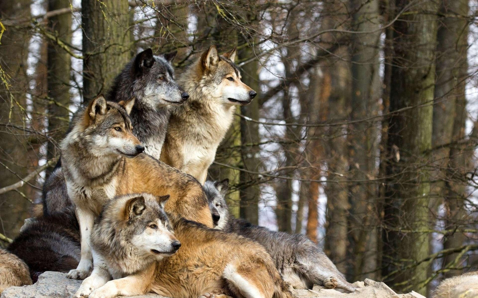 wolves pack hd wallpaper | download hd wallpapers for desktop