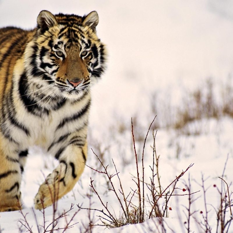 10 Most Popular Siberian Tiger Wallpaper Hd 1080P FULL HD 1920×1080 For PC Desktop 2018 free download x tiger wallpaper full hd 1280x800 tiger wallpapers hd 40 800x800